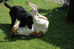 Coco met haar vriend de Labrador Spot (Carla Bilstra)
